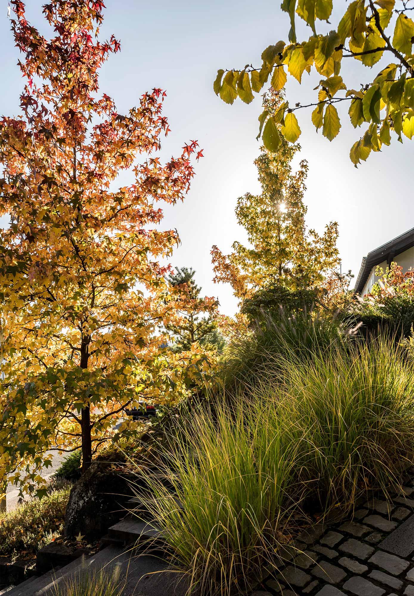 Japanese maple in front garden absorbing sunlight
