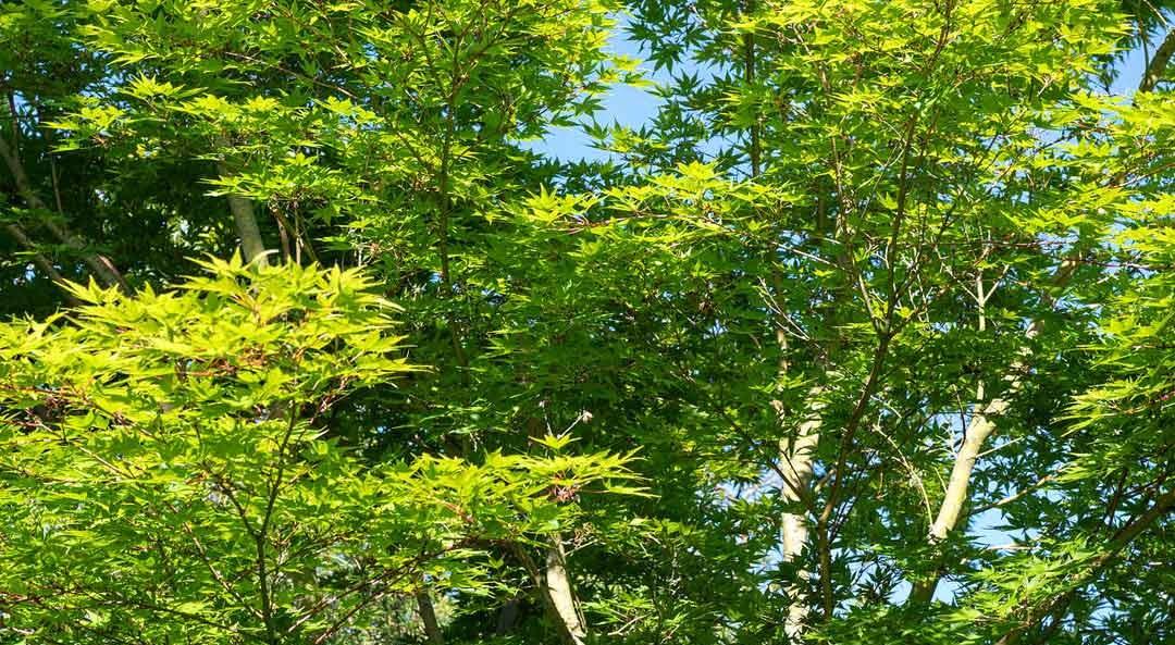Großer Ahornbaum bei gutem Wetter