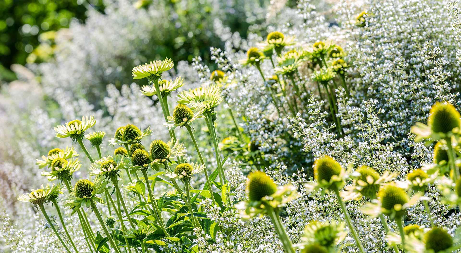 Detail-Ansicht eines von der Sonne angestrahlten Blumenmeers